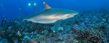 entete_img_polynesie_plongee_rangiroa_018_requin_pointe_blanche_rangiroa_jean_michel_mille