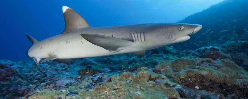 entete_img_polynesie_plongee_requin_de_recif_shutterstock_yann_hubert_303989789