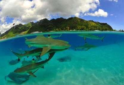 item_img_fr_polynesie_plongee_iles_societe_moorea_requins_raies_gilles_diraimondo_21311